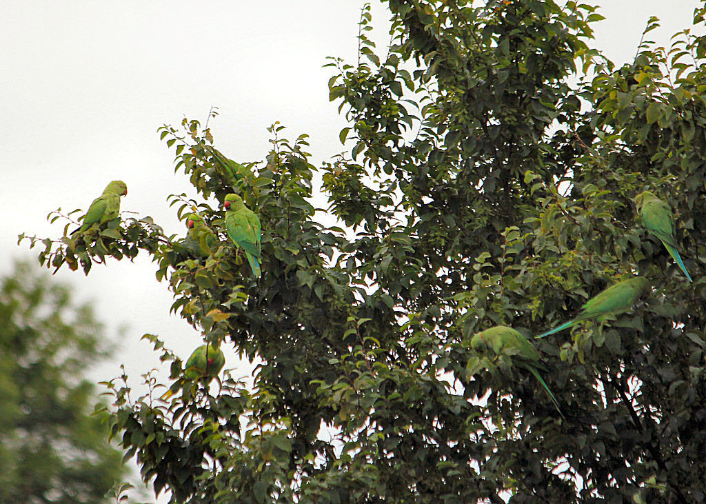 The Parrots of West London, seen here feasting on a pear tree